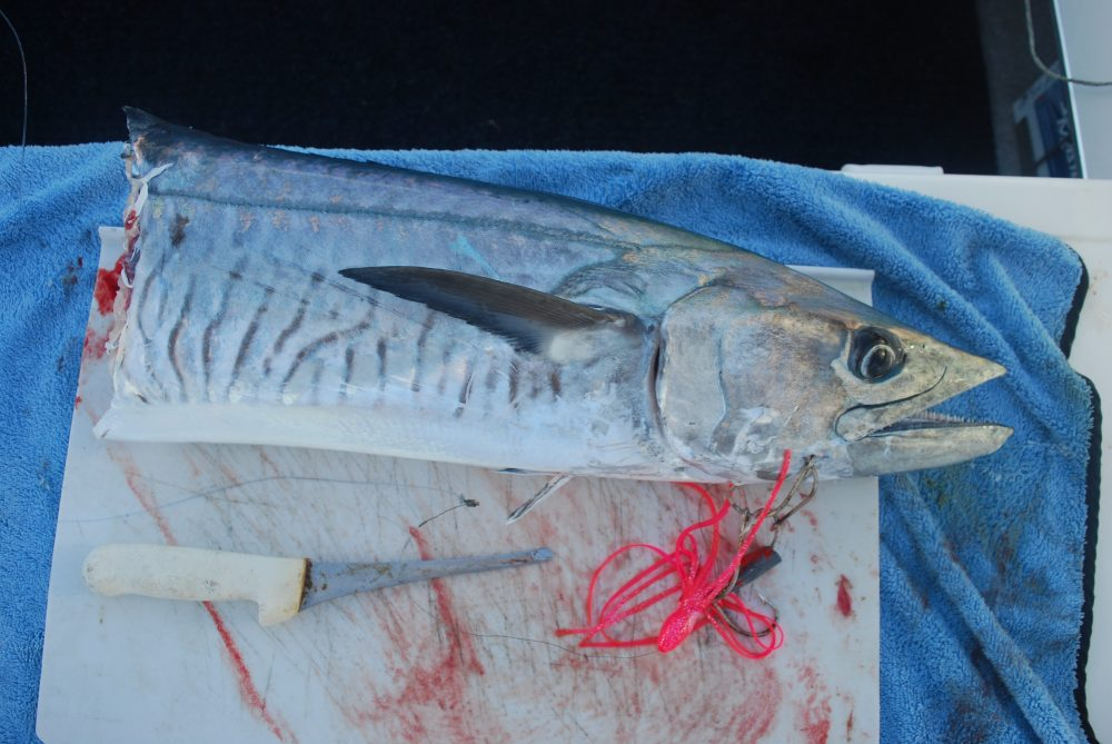 Shark, or barracuda? Depredation on hooked Spanish mackerel is high; but yet, an unknown quantity.