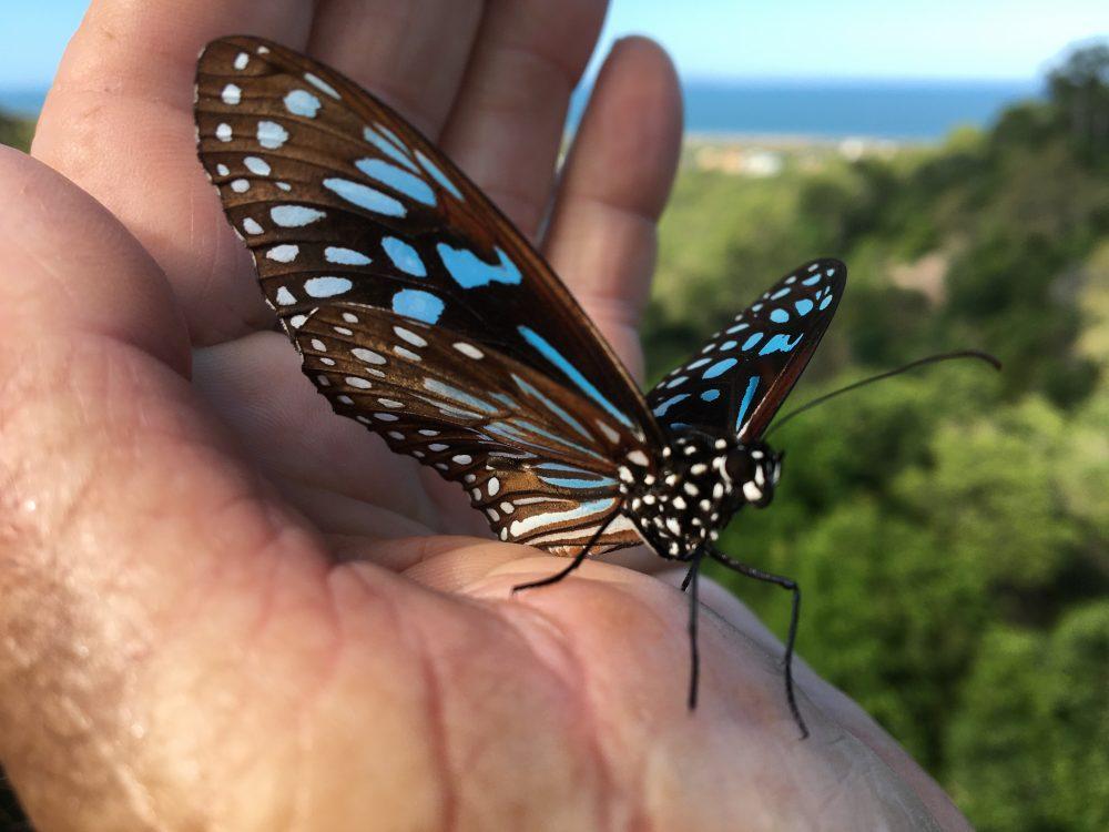 """A """"Blue Tiger"""" butterfly – """"A good omen!"""""""